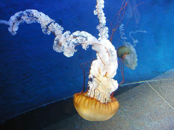 jellyfishP1010004a.jpg