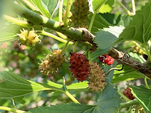 mulberry_2143a.jpg