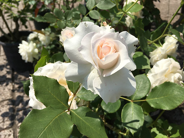rose_9819a.jpg